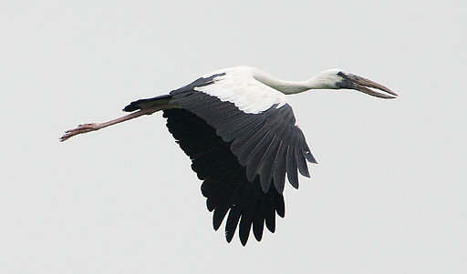 Anastomus_oscitans_-Keoladeo_National_Park,_Rajasthan,_India