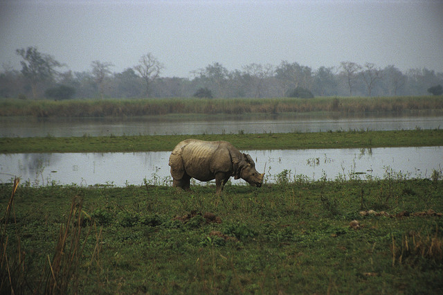 As a wildlife lover, your search for one horned rhinoceros ends at Kaziranga National Park (Assam). Lying on the banks of the mighty Brahmaputra River, the World Heritage Site features a Tiger Reserve and is home to a diverse wildlife, including water buffaloes and elephants. 