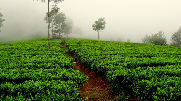 tea-garden-in-darjeeling